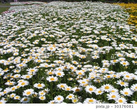 一面の白い花はノースポールの花 30376081