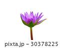 Purple lotus isolated on white background 30378225
