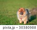 ポメラニアン 可愛い 犬の写真 30380988