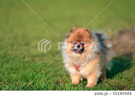 【ポメラニアン】可愛い小型犬 30380988