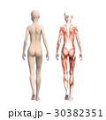 女性 解剖 筋肉 3DCG イラスト素材 30382351