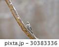 コゲラ 小鳥 鳥の写真 30383336