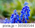 ムスカリ 花 青の写真 30383544