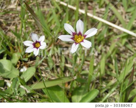 一際目立つ薄紫色の小さな花はニワゼキショウ 30388067