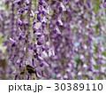 藤の花 光と影 30389110