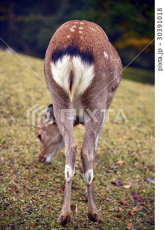 奈良公園の鹿 30391018