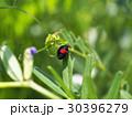 ナミテントウ 虫 昆虫の写真 30396279