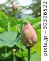 蓮の花 30396522