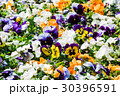 パンジー 花壇 花の写真 30396591