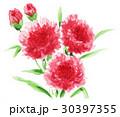 花 カーネーション 母の日のイラスト 30397355