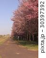 桜並木 30397392