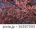 桜 30397393