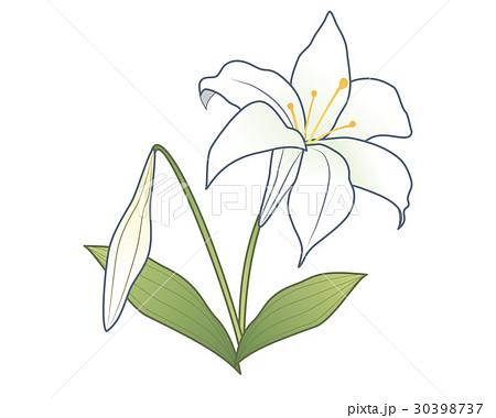 ユリの花のイラスト素材 30398737 Pixta