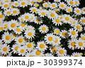 ノースポール ~白い花~ 30399374