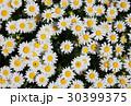 ノースポール ~白い花~ 30399375