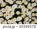 ノースポール ~白い花~ 30399376