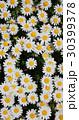 ノースポール ~白い花~ 30399378