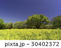 菜の花と木々 30402372