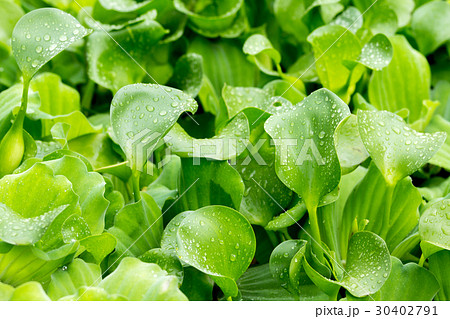 Water Hyacinth 30402791