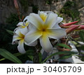 プルメリア 30405709