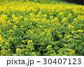 菜の花 アブラナ 花畑の写真 30407123