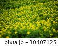 菜の花 アブラナ 花畑の写真 30407125