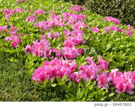 サクラの終わった後に咲くツツジの桃色の花 30407601