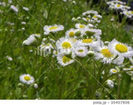 野山に咲く雑草ハルジオンの白い花 30407606