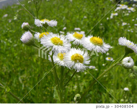 野山に咲く雑草ハルジオンの白い花 30408504