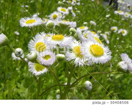 野山に咲く雑草ハルジオンの白い花 30408506