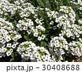 スイートアリッサムの白い花 30408688
