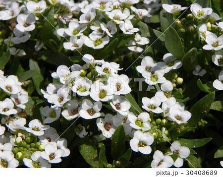 スイートアリッサムの白い花 30408689