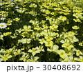 カリフォルニア州の州花ハナビシソウの黄色い花 30408692
