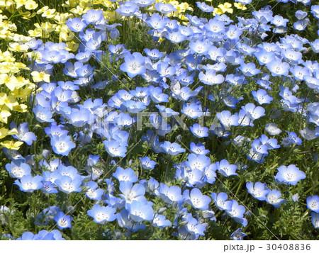こどもの笑顔のようなネモフィラの青い花 30408836