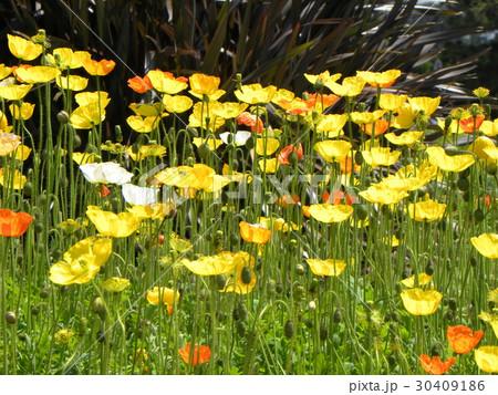 カリフォルニア州の州花ハナビシソウの黄色い花 30409186