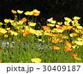 カリフォルニア州の州花ハナビシソウの黄色い花 30409187