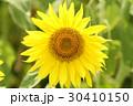 ひまわり ヒマワリ 黄色の写真 30410150