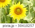 ひまわり ヒマワリ 黄色の写真 30410257