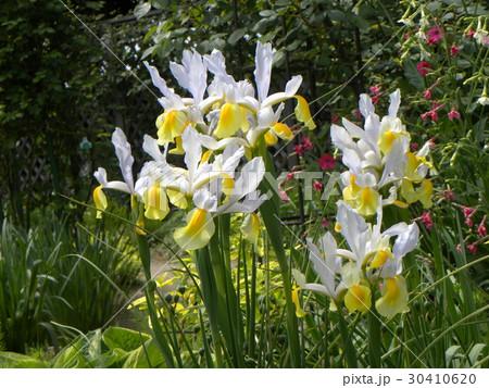 ダッチアイリスの大きい花びらの白い花 30410620