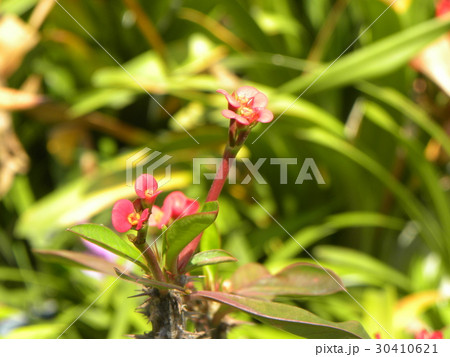 キリンのように細身の体の上に花を付けるハナキリン 30410621