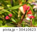 キリンのように細身の体の上に花を付けるハナキリン 30410623