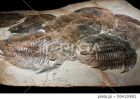 三葉虫化石(集団で交尾したまま窒息死したものと推測) 30410981
