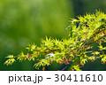 新緑 青葉 葉の写真 30411610