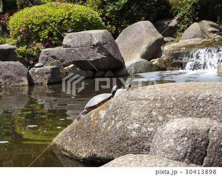 稲毛海浜公園の池に小さい滝と亀さん 30413898