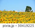 ひまわり ヒマワリ 夏の写真 30419225