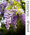 山地に自生する藤の花 30426652