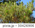 The Pinaceae (pine family) are trees in forest 30426906