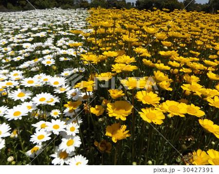 白い花のノースポールと黄色い花のムルチコーレ 30427391