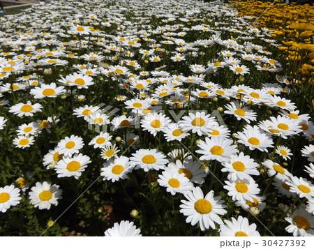 白い花のノースポール 30427392