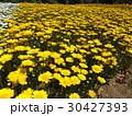 黄色い花のムルチコーレ 30427393